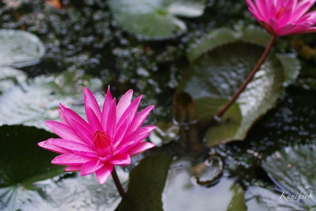 スリランカの蓮